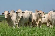 Em plena entressafra, preço do boi gordo em MS inicia agosto em elevação