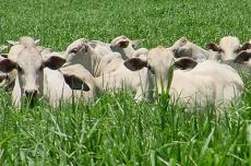 Integração lavoura-pecuária atrai mais produtores em MS