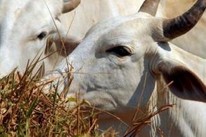 Secretaria orienta produtor rural sobre vacinação contra aftosa