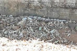 Jiboia de dois metros é capturada em região central de município; vídeo
