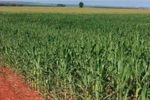 Estiagem pode impactar produtividade do milho e reduzir supersafra