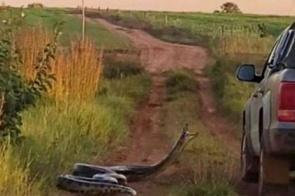 Cobra de sete metros tenta 'dar o bote' em caminhonete com família dentro em MS; assista