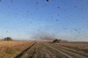 Nuvem de gafanhotos: Governo brasileiro declara emergência fitossanitária
