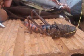 Outro 'gafanhoto gigante': homem encontra inseto no Jardim Panorama