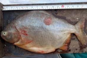 Dois são presos por pesca predatória no rio Aquidauna