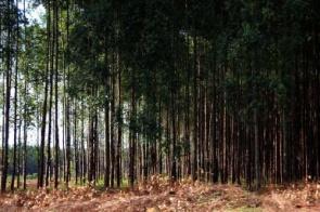 Com reserva de madeira, MS tem potencial de exportação para gigantes da celulose
