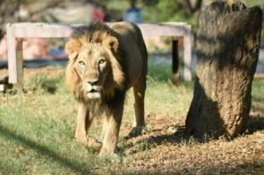 Leão morre após ser diagnosticado com covid-19 em zoológico na Índia