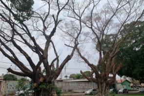 Prefeitura de Dourados  anuncia derrubada de duas figueiras por risco de queda