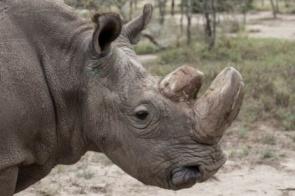 Como diplomatas norte-coreanos e prostitutas tailandesas movem o milionário negócio que ameaça rinocerontes da extinção