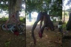 Rã de 3 metros e pesando 100 quilos foi encontrada no rio Paraguai! Será verdade?