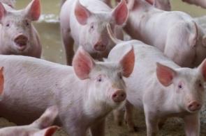 Suinocultores pedem reestruturação de programa de venda de balcão pela Conab