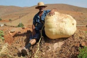 Agricultor colhe abóbora gigante de mais de 117 quilos