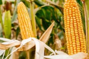 Como preservar a sua produção de milho?