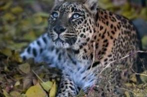 Leopardo entra em casa, morde criança e arrasta corpo para floresta