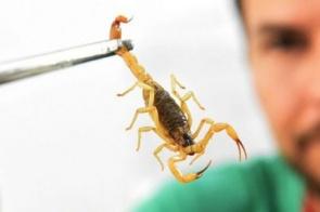 Saúde alerta para picadas de escorpião, mais comuns no verão