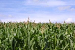 Produtores contam com chuvas no outono para desenvolvimento do milho safrinha