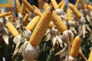 Prorrogado prazo para cadastramento de áreas para plantio de milho em Mato Grosso do Sul