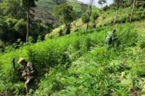 Polícia paraguaia destrói 11 hectares de maconha na fronteira de MS