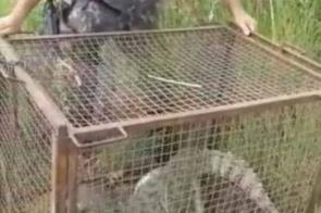 Jacaré de 1,5 metro é capturado no pátio da PRF
