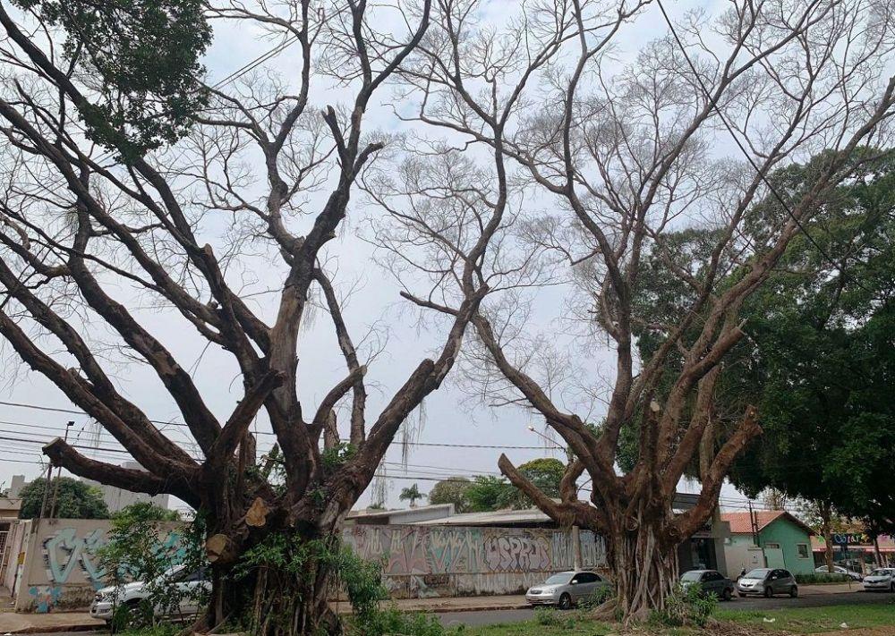As duas Figueiras estão localizadas no canteiro central da Avenida João Candido Câmara, entre a Ciro Melo e Oliveira Marques (Foto: Divulgação/Prefeitura de Dourados)