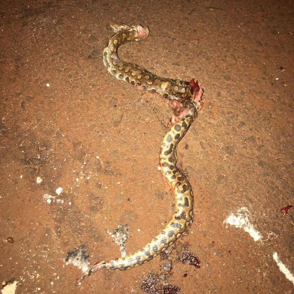 Cobra descrita por douradense como uma jararaca foi encontrada no bairro Monte Carlo (Foto: Reprodução)